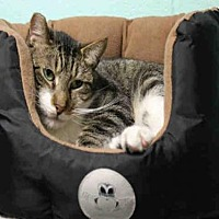 Domestic Mediumhair Cat for adoption in Hampton Bays, New York - RASCAL