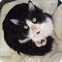 Maine Coon Cat for adoption in Los Angeles, California - Bo-loves cats and dogs