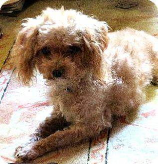 Poodle (Toy or Tea Cup) Dog for adoption in Boulder, Colorado - Parker