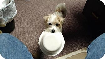 Shih Tzu/Jack Russell Terrier Mix Dog for adoption in Nicholasville, Kentucky - Pippi