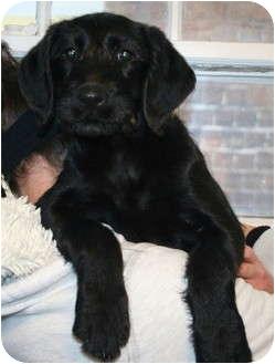 ... Puppy | Salamanca, NY | Airedale Terrier/Labrador Retriever Mix