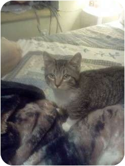 Domestic Shorthair Kitten for adoption in Oxford, Connecticut - Bootz
