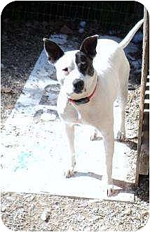 American Pit Bull Terrier Mix Dog for adoption in Poland, Indiana - Angel