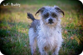 Shih Tzu/Yorkie, Yorkshire Terrier Mix Dog for adoption in Wilmington, Delaware - Buddy