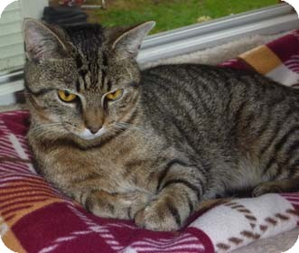 Domestic Shorthair Kitten for adoption in Merrifield, Virginia - Sam