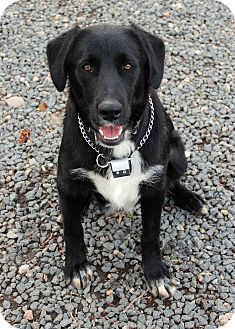 Labrador Retriever Mix Dog for adoption in Westminster, Colorado - Chaplin