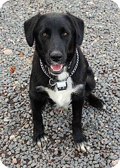 Labrador Retriever Mix Dog for adoption in Westminster, Colorado - Chaplin