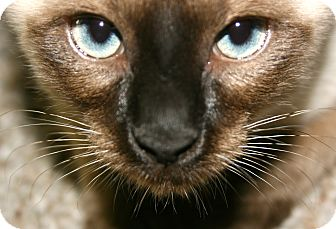 Siamese Cat for adoption in Phoenix, Arizona - Milo