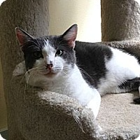 Domestic Shorthair Cat for adoption in Maryville, Tennessee - Leonard