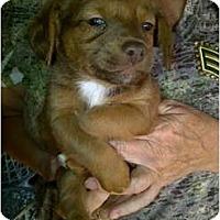 Adopt A Pet :: Benji - Arlington, TX