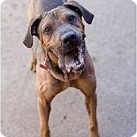 Adopt A Pet :: Risley - Portland, OR
