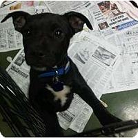 Adopt A Pet :: Munchkin - Fresno, CA