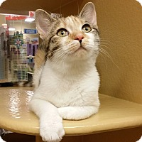 Adopt A Pet :: Angel - Colmar, PA