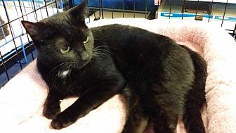 Domestic Shorthair Cat for adoption in Marietta, Georgia - Frenchy