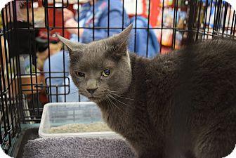 Domestic Shorthair Cat for adoption in Washington, Pennsylvania - Freddy