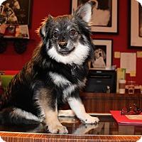 Adopt A Pet :: BidiBidi PomPom - Los Angeles, CA