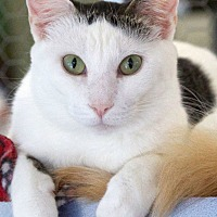 Domestic Shorthair Cat for adoption in St Louis, Missouri - Ruby