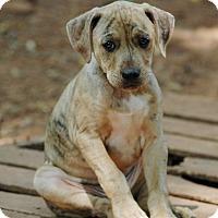 Adopt A Pet :: Tigger - Lawrenceville, GA
