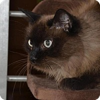 Balinese Cat for adoption in Glendale, Arizona - Charmin