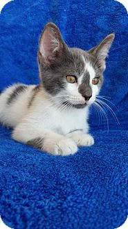 Domestic Shorthair Cat for adoption in Hornell, New York - Marco