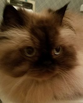 Himalayan Cat for adoption in Columbus, Ohio - Princess Grace