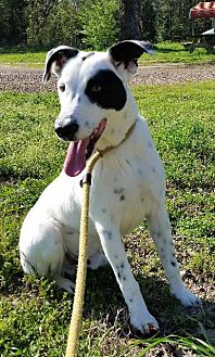 Dalmatian/Basset Hound Mix Dog for adoption in Jefferson, Texas - San Tanko