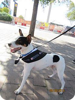 Rat Terrier Dog for adoption in Von Ormy, Texas - Milo