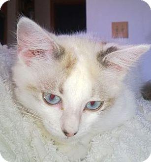 Domestic Mediumhair Kitten for adoption in Wamego, Kansas - Skye
