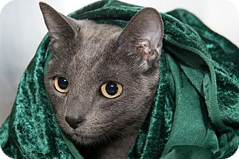 Russian Blue Cat for adoption in San Juan Capistrano, California - Boris