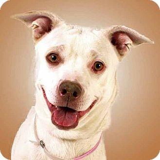 Cattle Dog/Pit Bull Terrier Mix Dog for adoption in Prescott, Arizona - Sierra