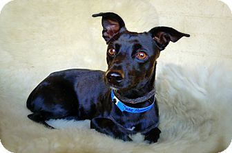 Chihuahua Mix Dog for adoption in Casa Grande, Arizona - Base Runner