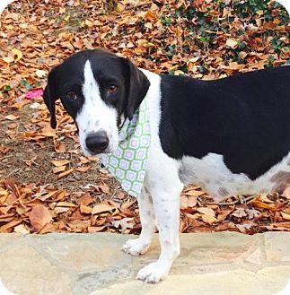 Beagle Mix Dog for adoption in Alpharetta, Georgia - Syracuse