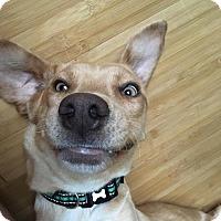 Adopt A Pet :: MollyBrown - Alpharetta, GA