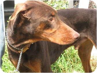 Doberman Pinscher Dog for adoption in Sun Valley, California - Henry