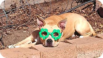 Terrier (Unknown Type, Medium)/French Bulldog Mix Dog for adoption in Sacramento, California - Scout