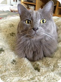 Domestic Mediumhair Cat for adoption in Horsham, Pennsylvania - Benny