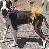 Adopt A Pet :: Rootbeer - Scottsdale, AZ
