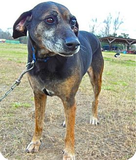 Mountain Cur/Hound (Unknown Type) Mix Dog for adoption in St. Francisville, Louisiana - Shelby