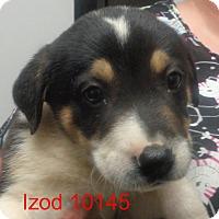 Adopt A Pet :: Izod - baltimore, MD