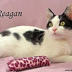 Photo 4 - Domestic Shorthair Cat for adoption in St Louis, Missouri - Reagan