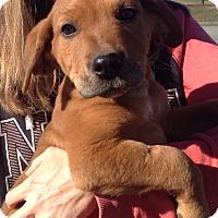 Adopt A Pet :: Orion (12 lb) - SUSSEX, NJ