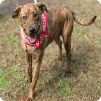 Adopt A Pet :: Lilah - Fort Collins, CO
