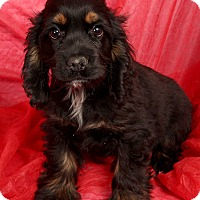 Adopt A Pet :: Onyx Cocker - St. Louis, MO