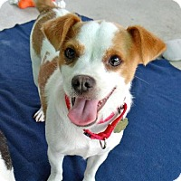 Jack Russell Terrier Mix Dog for adoption in Seal Beach, California - Pumpkin