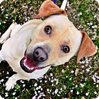 Labrador Retriever/Pit Bull Terrier Mix Dog for adoption in Fort Smith, Arkansas - Christi