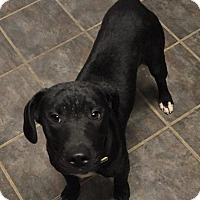 Adopt A Pet :: Barkley - Dayton, OH