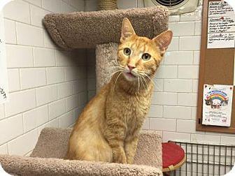 Domestic Shorthair Cat for adoption in New York, New York - Fernando