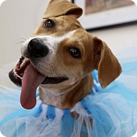 Adopt A Pet :: Blondie - Charlemont, MA