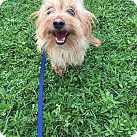 Silky Terrier Mix Dog for adoption in Lehigh, Florida - Willy