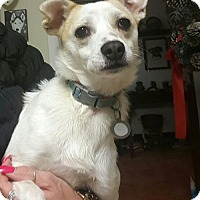 Chihuahua Mix Dog for adoption in Rockville, Maryland - Farrah